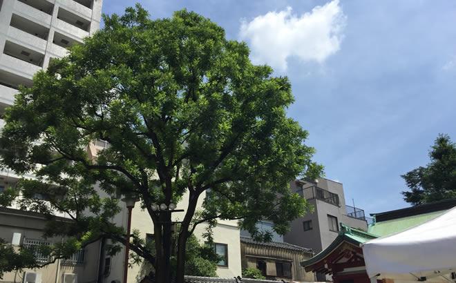 槐の木 浅草神社